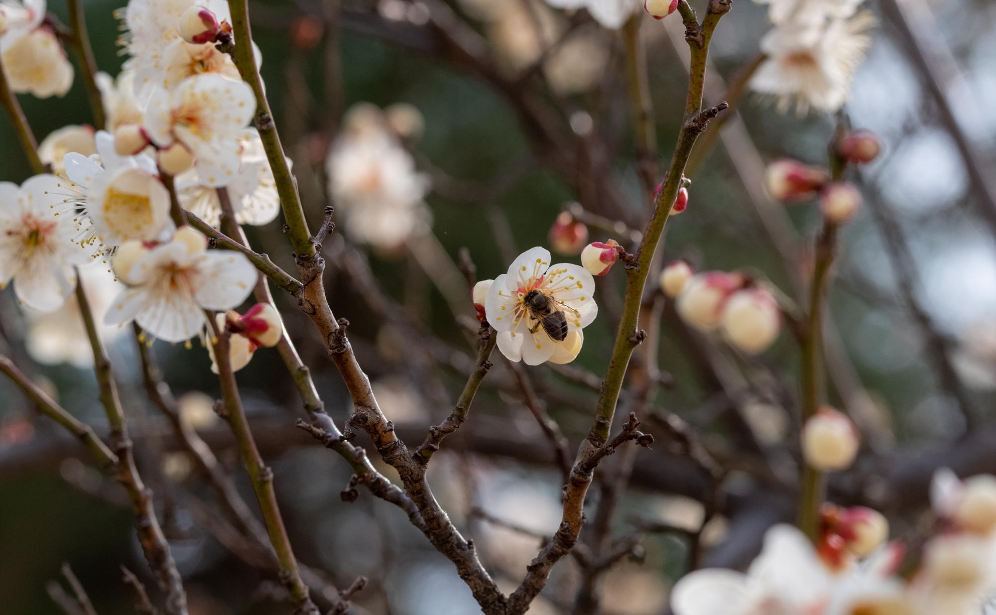 매화나무 벌 2